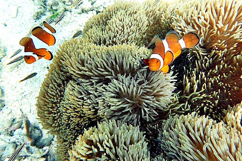 Clownfish in Bolinao, Pangasinan.